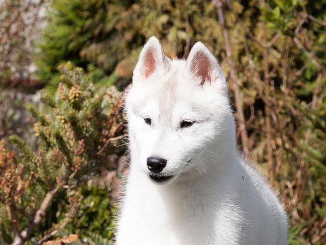 Собака. Сибирский хаски . Продаю в Бресте