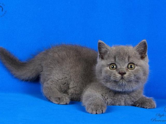 Голубые британские котята!