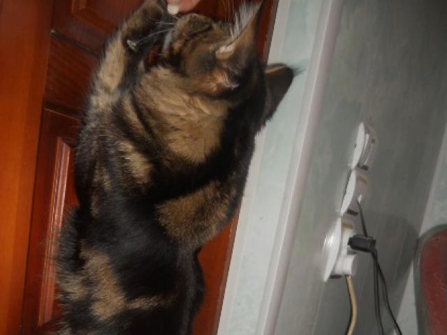 Кошка. Мэйн-кун . Вязка в Воронеже