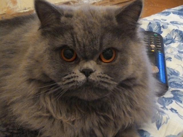 Кошка. Персидская. Вязка в Нижнем Тагиле