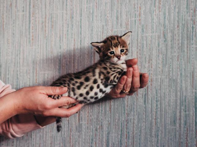 Кошка. Саванна. Продаю в Москве