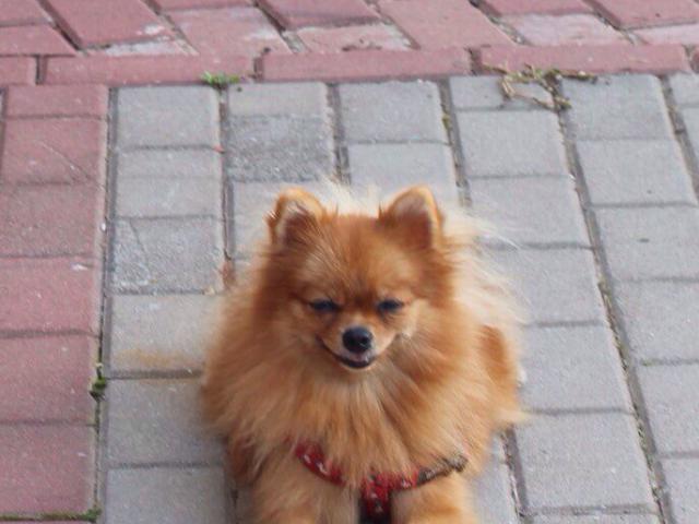 Собака. Немецкий шпиц малый. Потеря/Находка в Краснодаре