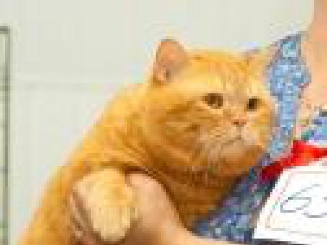 Кошка. Британская короткошерстная. Вязка в Краснодаре