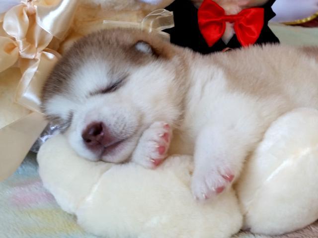 Собака. Аляскинский маламут . Продаю в Пензе