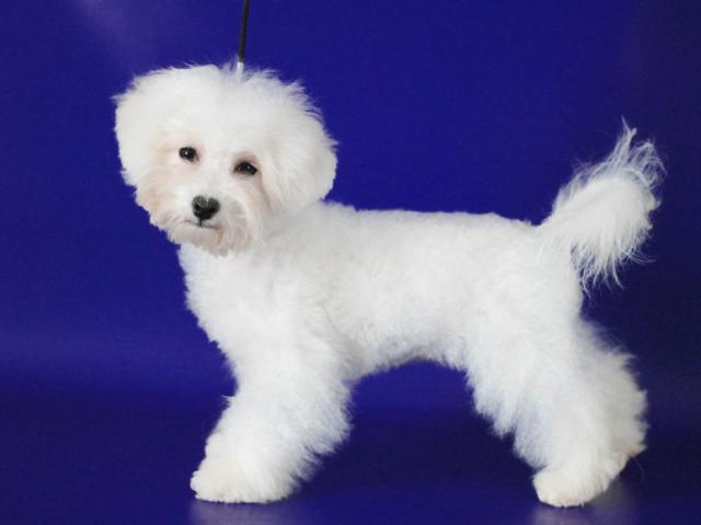 Собака. Бишон фризе. Продаю в Новосибирске