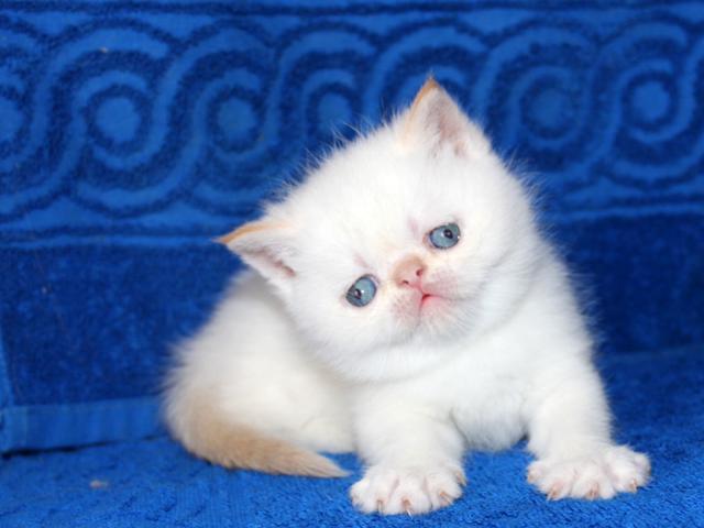 Кошка. Экзотическая (короткошерстная). Продаю в Москве