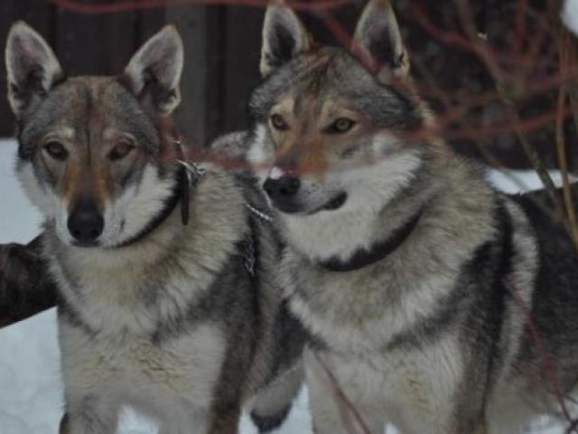 Собака. Чехословацкий влчак. Продаю в Москве