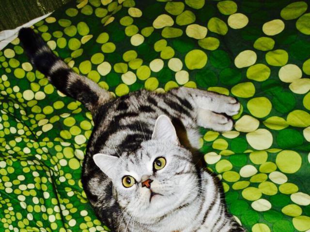 Кошка. Британская короткошерстная. Вязка в Люберцах