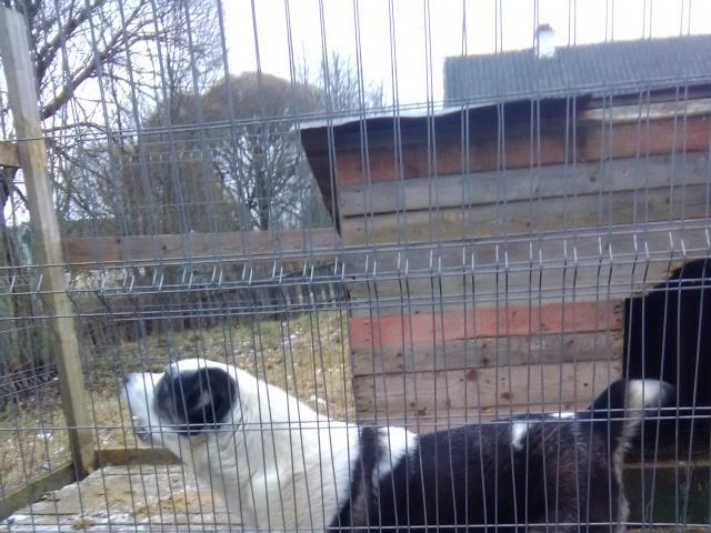 Собака. Среднеазиатская овчарка (Алабай). Продаю в Окуловке