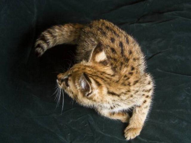 Кошка. Саванна. Продаю в Санкт-Петербурге