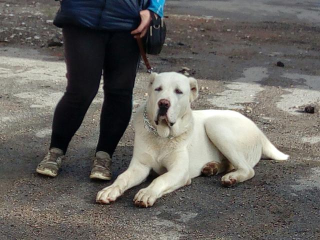 Собака. Среднеазиатская овчарка (Алабай). Продаю в Санкт-Петербурге