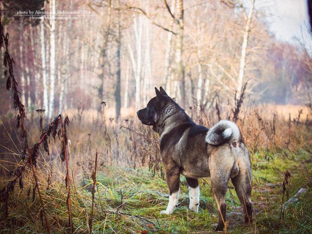 Собака. Американская акита. Вязка в Санкт-Петербурге