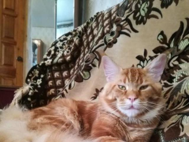 Кошка. Мэйн-кун . Вязка в Новороссийске