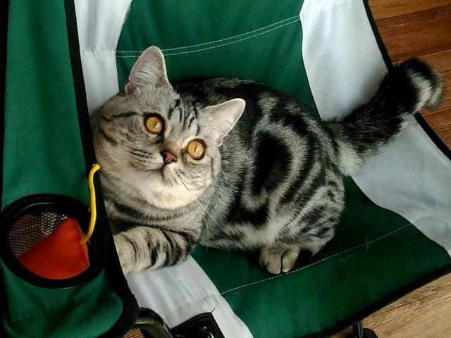 Кошка. Британская короткошерстная. Вязка в Томске