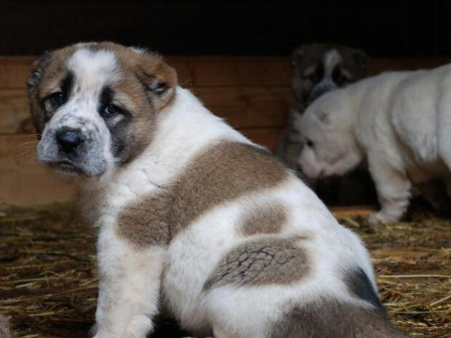 Собака. Среднеазиатская овчарка (Алабай). Продаю в Чехове