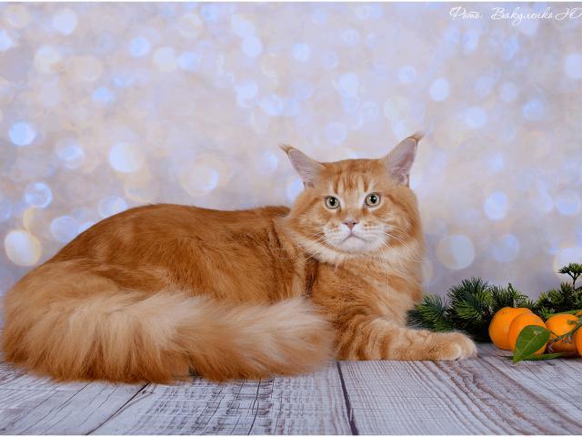 Кошка. Мэйн-кун . Вязка в Краснодаре