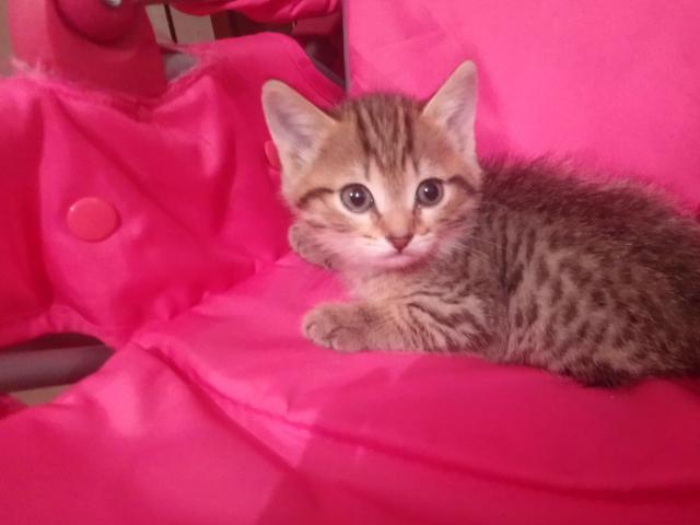 Кошка. Шотландская вислоухая (короткошерстная). Отдам в дар в Тюмени