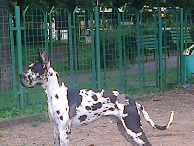 Собака. Немецкий дог. Вязка в Москве