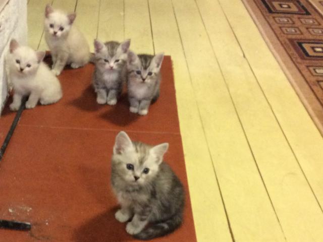 Кошка.  Беспородные и метисы . Отдам в дар в Сысерти