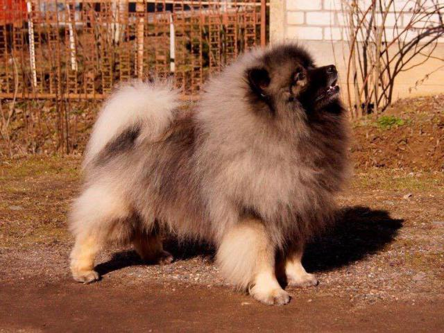 Собака. Немецкий шпиц волчий. Продаю в Минске
