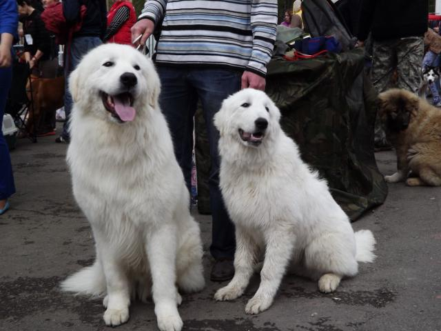 Собака. Маремма-абруцкая овчарка. Продаю в Челябинске