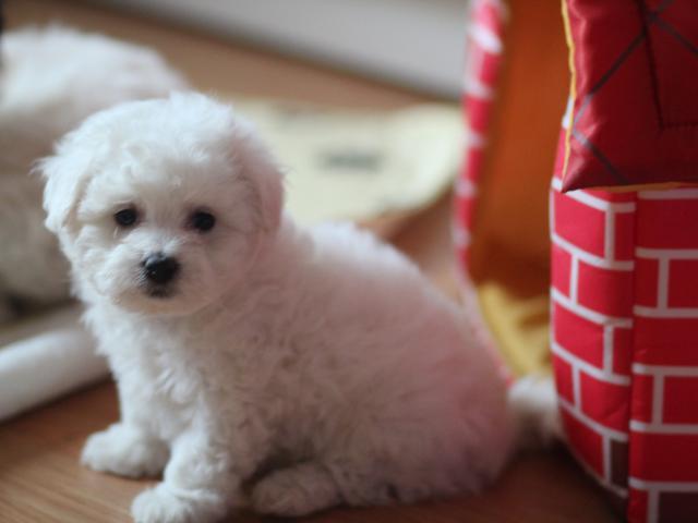 Собака. Бишон фризе. Продаю в Москве