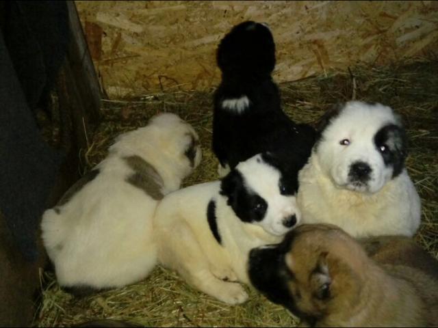 Собака. Среднеазиатская овчарка (Алабай). Продаю в Гатчине