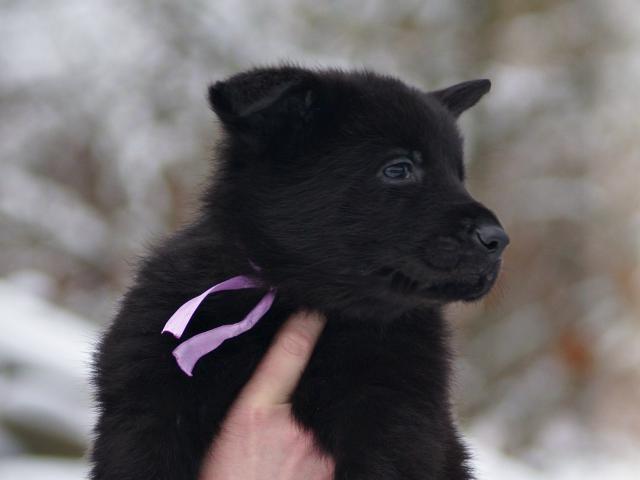 Собака. Восточноевропейская овчарка . Продаю в Санкт-Петербурге