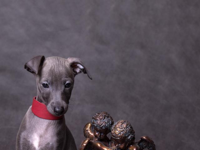 Собака. Левретка. Продаю в Санкт-Петербурге