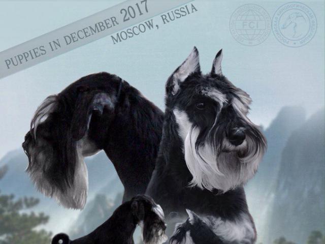 Собака. Цвергшнауцер. Продаю в Москве