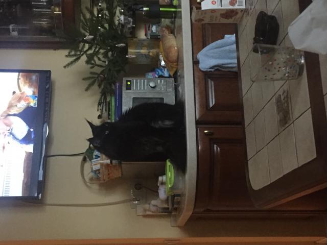 Кошка. Мэйн-кун . Вязка в Москве