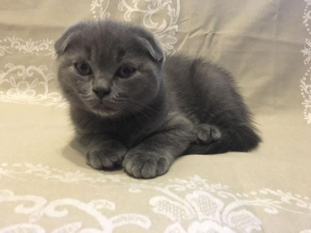 Кошка. Шотландская вислоухая (короткошерстная). Продаю в Павловске