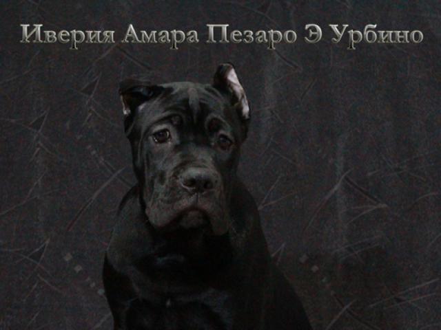 Собака. Кане корсо. Продаю в Санкт-Петербурге