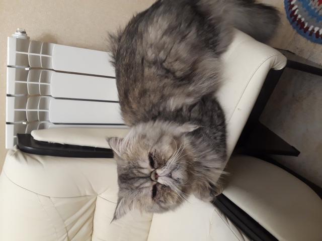 Кошка. Персидская. Отдам в дар в Раменском
