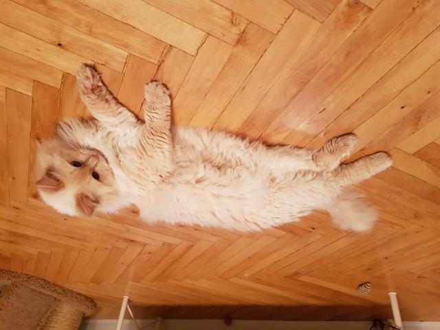 Кошка. Невская маскарадная. Вязка в Москве