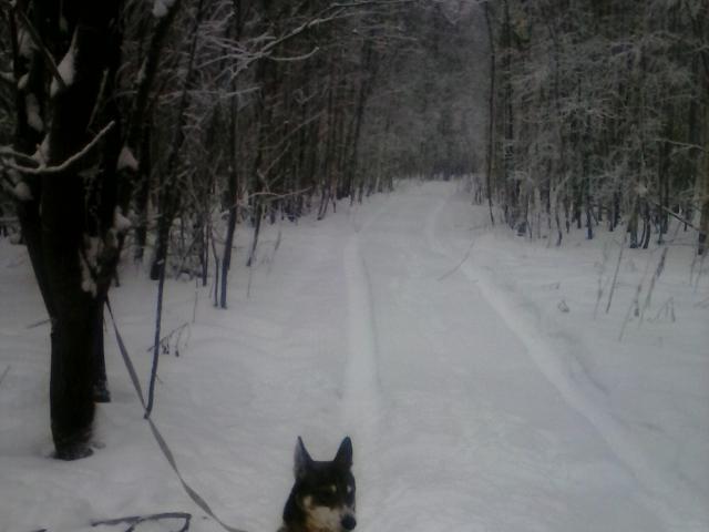 Собака. Западносибирская лайка. Потеря/Находка в Нижнем Новгороде