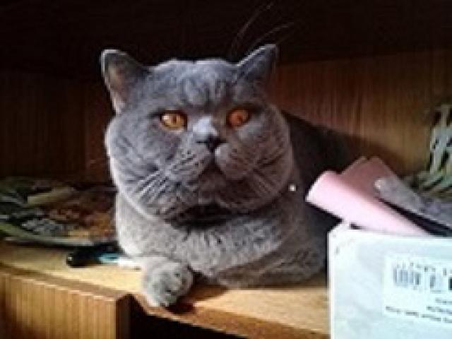 Кошка. Скоттиш-страйт. Вязка в Москве