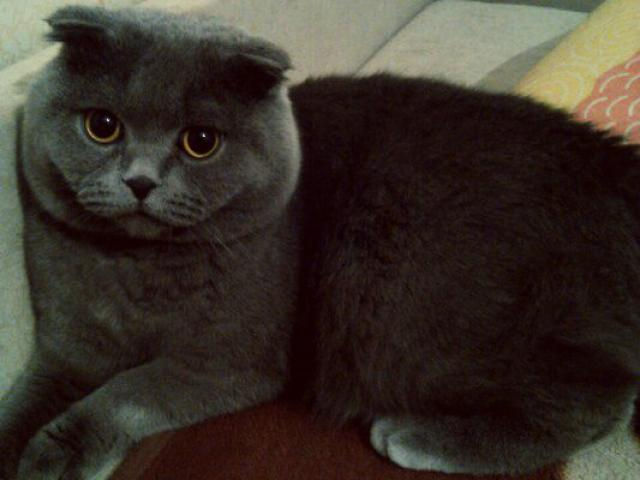 Кошка. Шотландская вислоухая (длинношерстная). Вязка в Красноярске