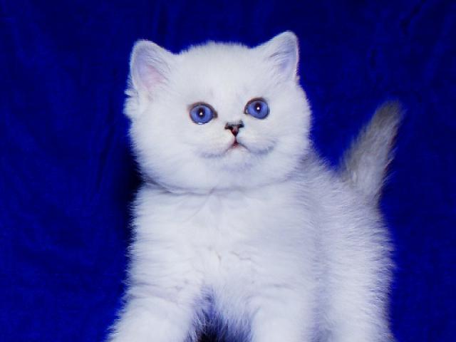 Британские котята синеглазые шиншиллы шоу-класс