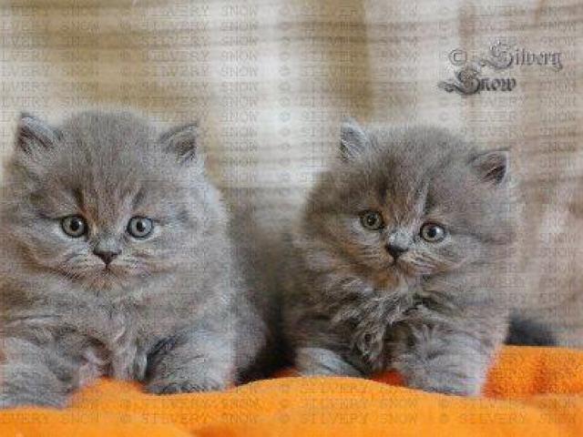 Кошка. Британская длинношерстная. Продаю в Москве