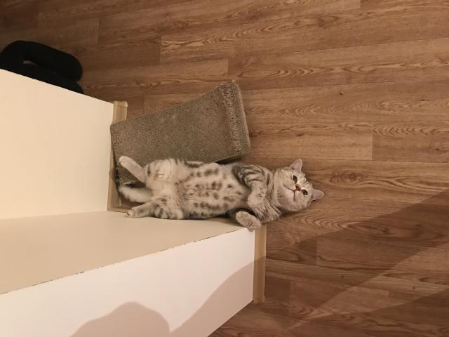 Кошка. Бенгальская короткошерстная. Вязка в Иркутске