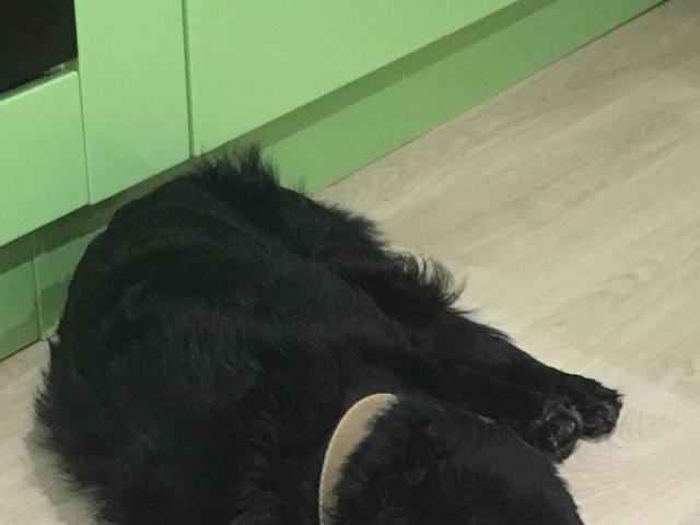 Собака. Русский охотничий спаниель.  в Иркутске