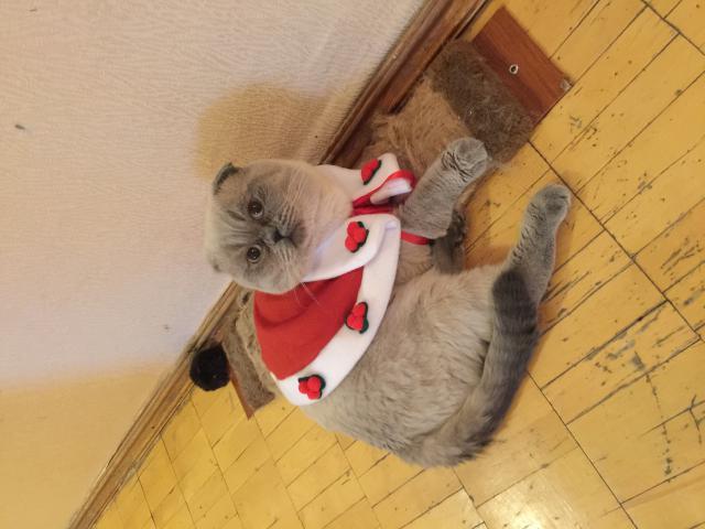 Кошка. Шотландская вислоухая (короткошерстная). Вязка в Лобне