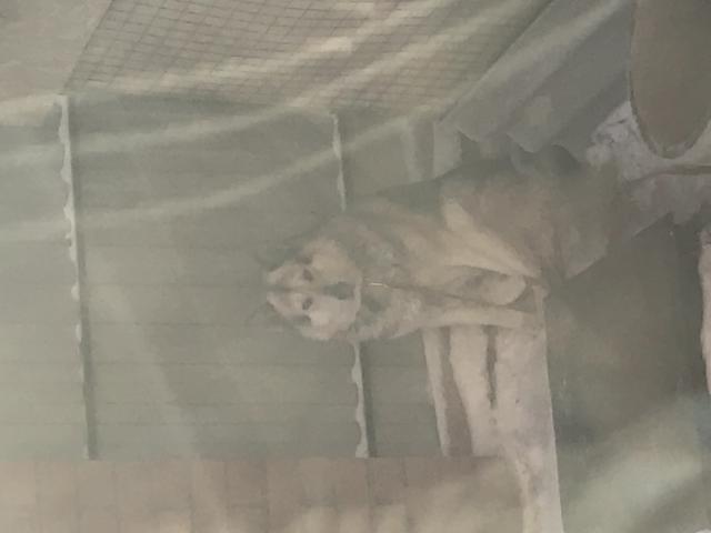 Собака. Сибирский хаски . Вязка в Тюмени