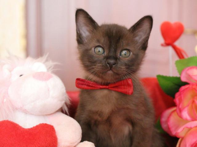 Кошка. Бурманская . Продаю в Санкт-Петербурге