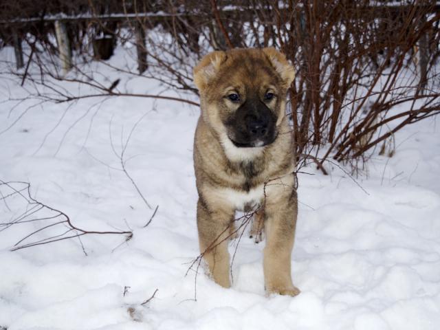Собака. Среднеазиатская овчарка (Алабай). Продаю в Витебске