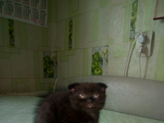 Кошка. Шотландская вислоухая (короткошерстная). Продаю в Екатеринбурге