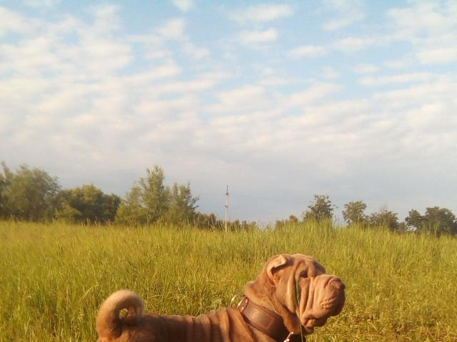 Собака. Шар пей. Вязка в Краснодаре