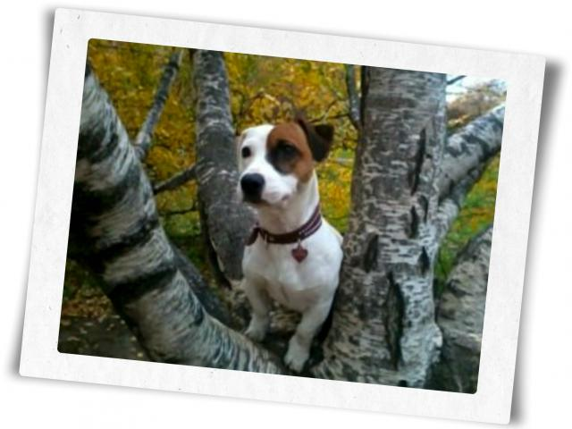 Собака. Джек Рассел терьер. Вязка в Москве
