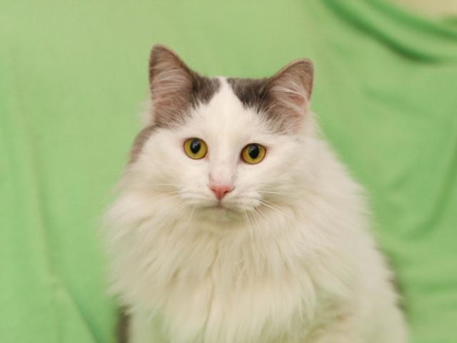 Ватсон - пушистый и вальяжный кот